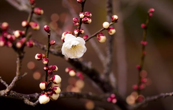 Picture white, flower, cherry, branch, blur, kidney