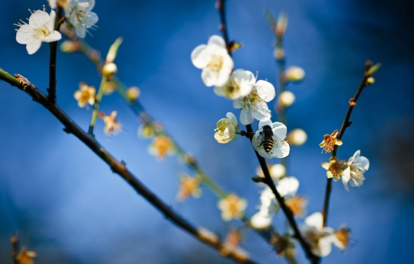 Picture flower, bee, spring, honey, Apple