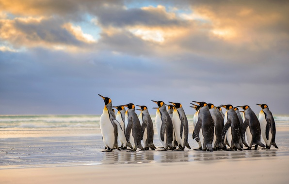 Picture beach, The Atlantic ocean, Royal penguins, Falkland Islands