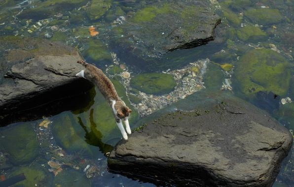 Picture cat, water, algae, stones, jump, stranded