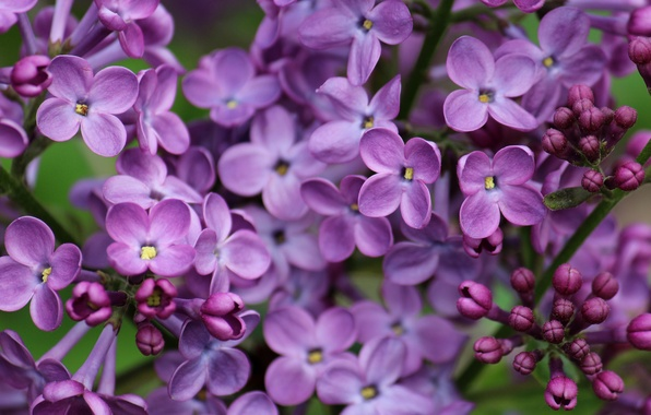 Picture macro, flowers, lilac