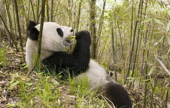 Picture leaves, bamboo, bear, Panda, lunch