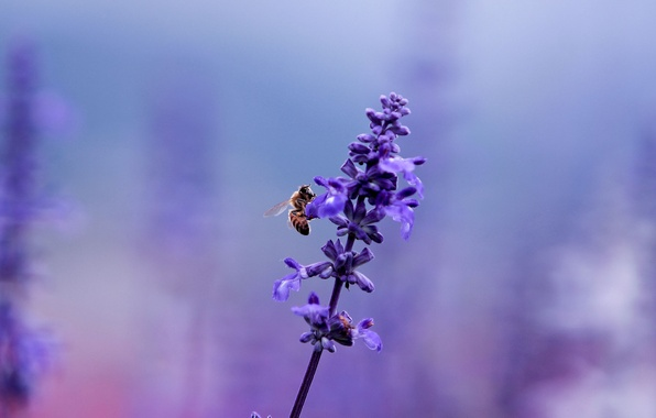 Picture flower, purple, macro, bee, lilac, glade, plant, color, blur, insect, purple, lavender