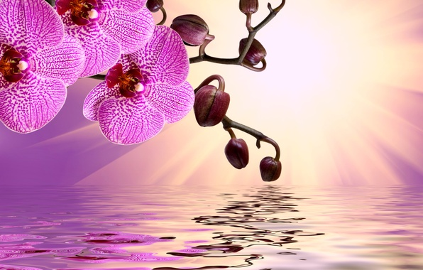 Picture flowers, sunshine, Orchid, pink, water, flowers, beautiful, orchid, reflection