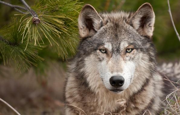 Picture wolf, predator, wolf, a stern look