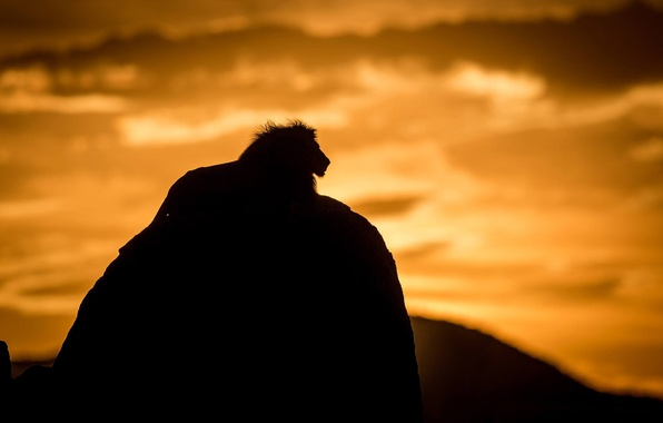 Picture cat, nature, shadow, predator, Leo, silhouette, the king of beasts, beast