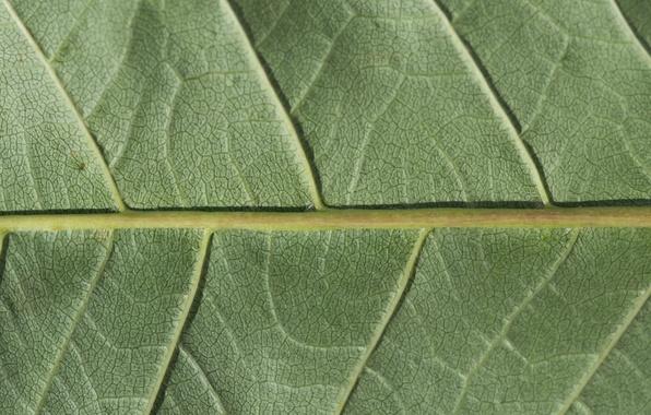 Picture green, leaf, plant, chlorophyll