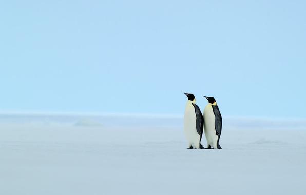 Picture winter, snow, penguins
