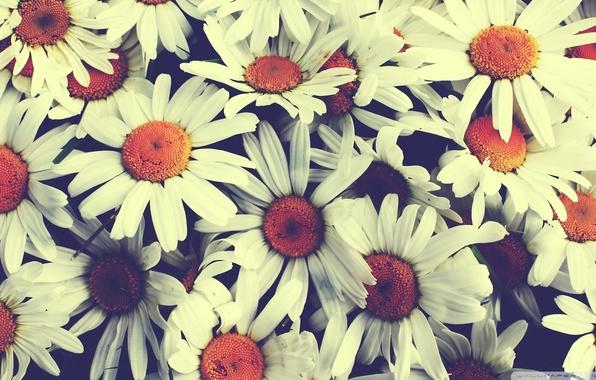 Picture chamomile, bouquet, vintage, pretty flowers