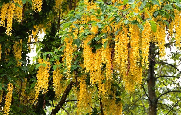 Picture photo, Flowers, Yellow, Wisteria, Wisteria