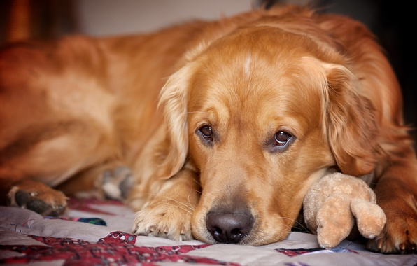 Picture sadness, look, each, dog, Retriever