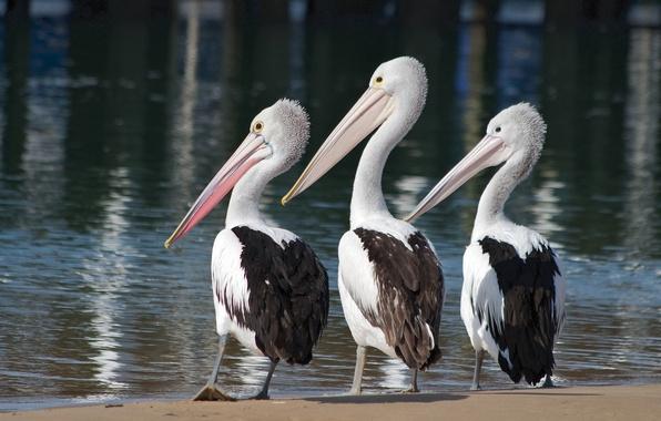 Picture water, birds, trio, Trinity, pelicans