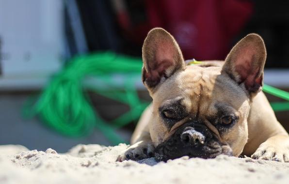 Picture beach, summer, Dog