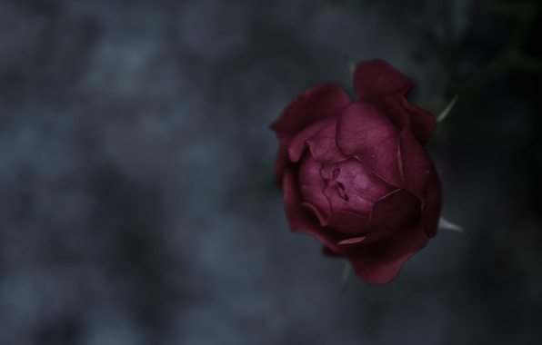 Picture macro, background, mood, rose, focus, texture, petals, stem, Bud, rose, flower, nature, beautiful