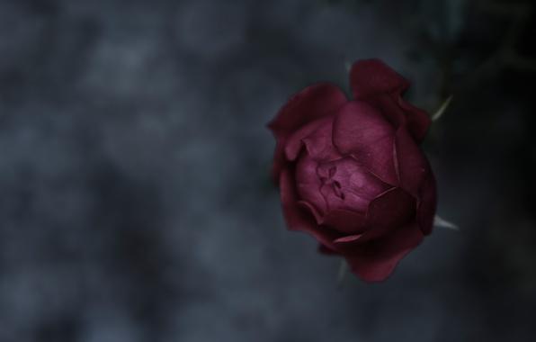Picture macro, background, mood, rose, focus, texture, petals, stem, Bud, rose, flower, nature, beautiful