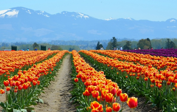 Picture field, flowers, mountains, nature, people, tulips
