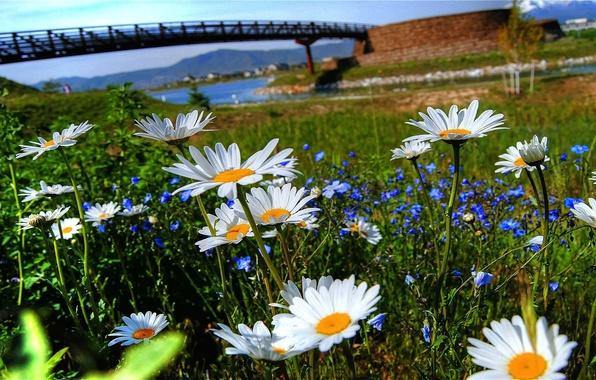 Picture the sky, grass, flowers, bridge, nature, river, chamomile, petals