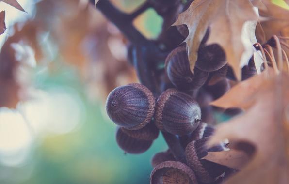 Picture fruit, a lot, acorns