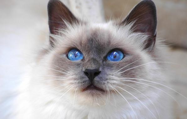 Picture cat, look, Cat, cat, blue eyes, breed, Sacred Birman, Burmese, Saint Birman, blue-eyed
