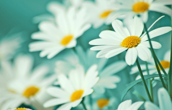 Picture macro, flowers, ease, tenderness, chamomile, petals, white