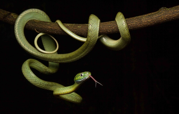 Picture snake, scales, color, black background, green