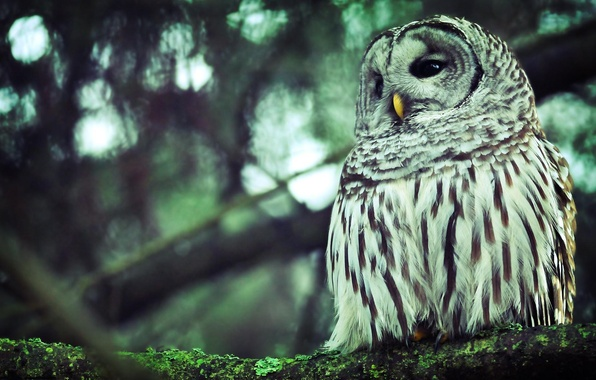Picture forest, eyes, trees, branches, background, owl, branch, Wallpaper, feathers, beak, wallpapers