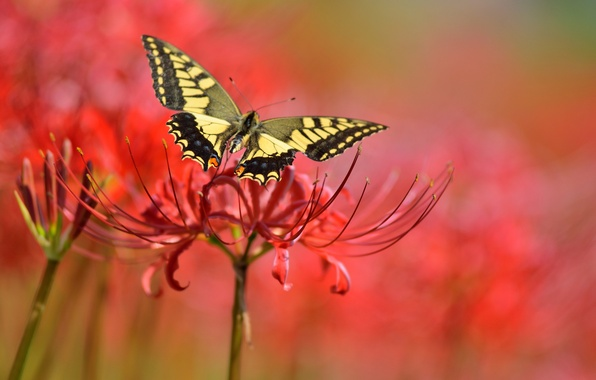 Picture flower, flowers, red, background, butterfly