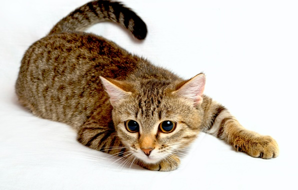 Picture cat, look, animal, paws, tail, white background, big eyes