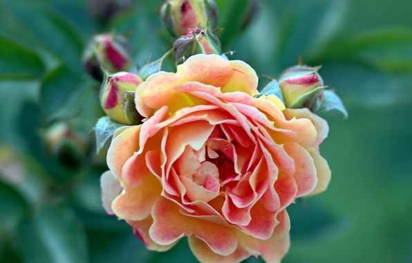 Picture flower, pink, rose, buds, green background