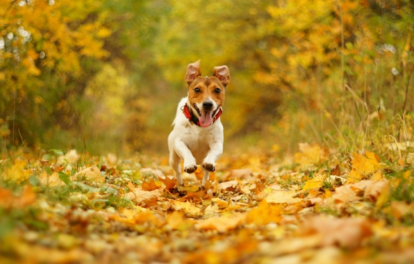 Picture autumn, joy, nature, foliage, speed, dog, running, mouth, bokeh