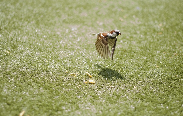 Picture grass, flight, movement, bird, wings, Sparrow, bird, bokeh, crumbs