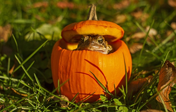 Picture grass, eyes, leaves, shadow, pumpkin, toad, bokeh