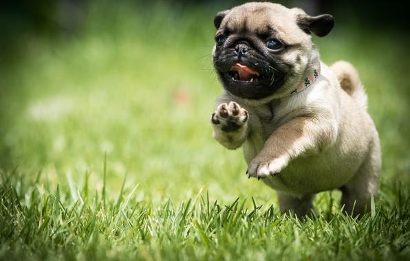Picture grass, dog, running, pug, puppy, walk
