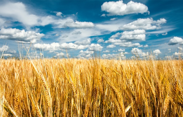 Picture field, summer, the sky, nature, spikelets