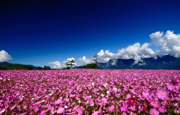 Picture field, summer, clouds, trees, flowers, mountains, hills, pink, Sunny, kosmeya
