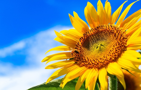 Picture summer, the sky, the sun, clouds, yellow, sunflower, closeup