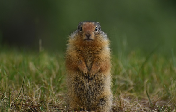 Picture grass, gopher, stand, rodent