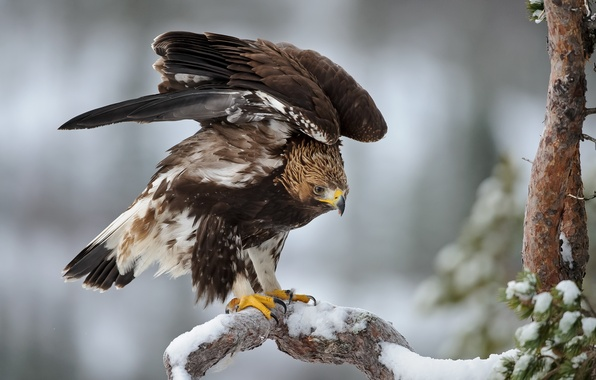Picture winter, snow, eagle, tree, wings, spruce, feathers, Bird, frost, tree, bird, pine, winter, snow, eagle
