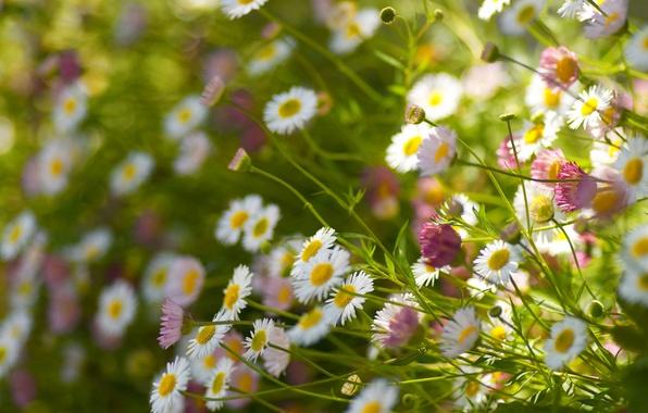 Picture field, stems, petals, view, bokeh, Daisy