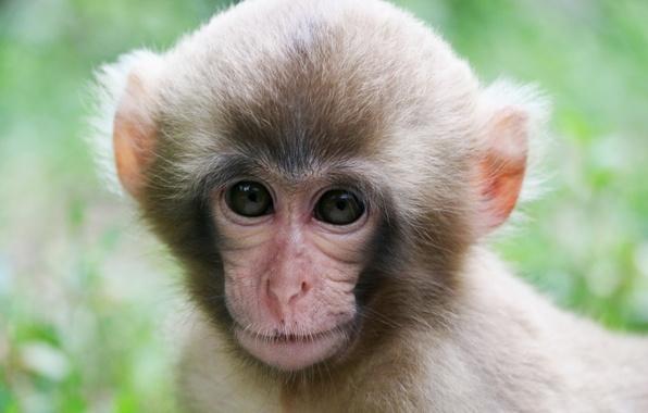 Picture muzzle, monkey, monkey