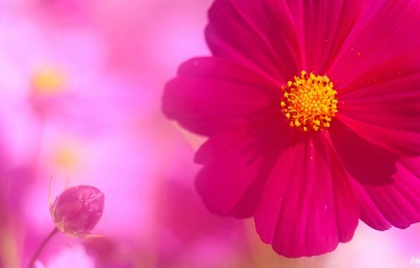 Picture flower, pink, petals, Bud, kosmeya