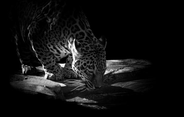 Picture water, stones, animal, predator, Jaguar, drink, black background