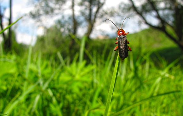 Picture the sky, grass, clouds, macro, nature, Beetle, insect