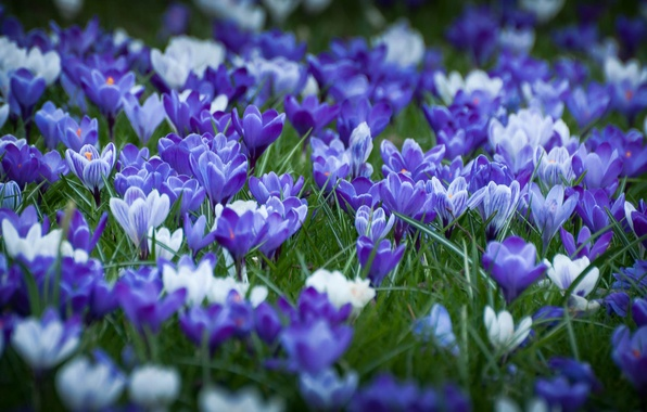 Picture forest, flowers, spring, crocuses, weed, flowering, leaves, bushes