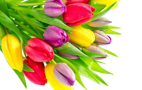 Picture drops, yellow, purple, tulips, red