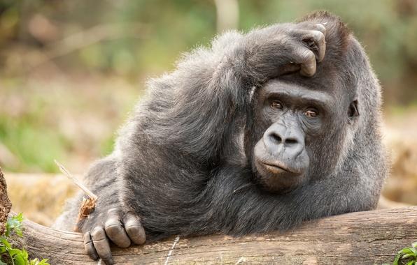 Picture monkey, gorilla, the primacy of