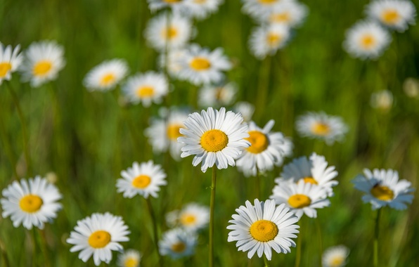 Picture field, nature, chamomile, petals, meadow