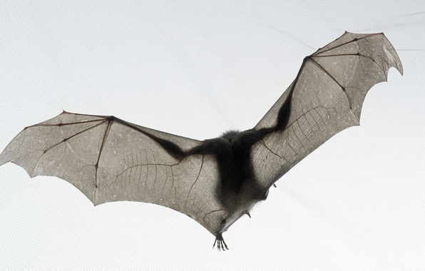 Picture white, mouse, bat, tim flach, national geographic, bat