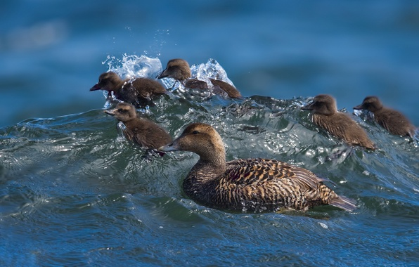 Picture water, wave, ducklings, duck, Chicks, surfing, Common eider