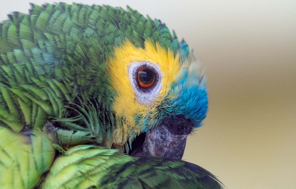 Picture colors, parrot, eye